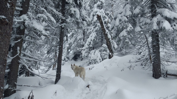 В Зауралье созданы бригады охотников для добычи волков