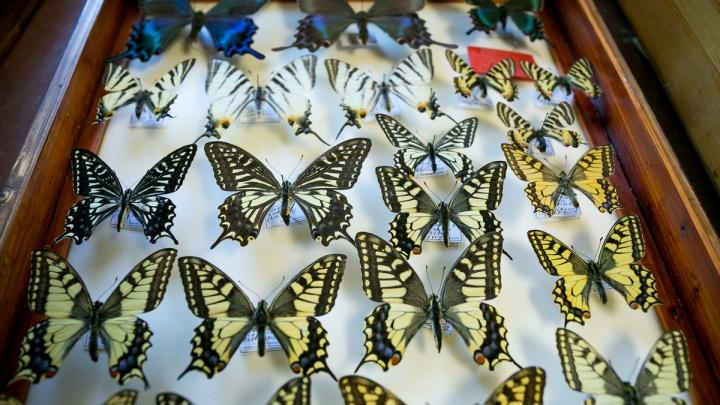 Топ-2019 «Воры, но красивые»: любуемся коллекцией из тысяч бабочек в красноярском Институте леса