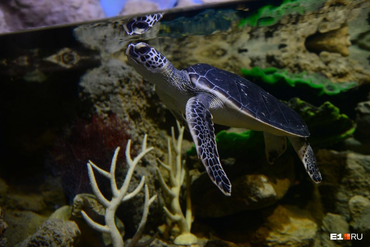 Крокодил Гена весом в тонну и гигантские хищные черепахи: смотрим на новых обитателей океанариума