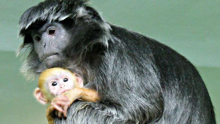 У чёрных обезьян в Новосибирском зоопарке родился рыжий детёныш