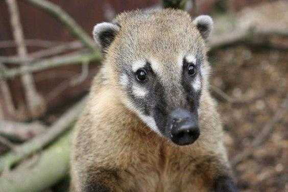 Носуху привезли на диагностику из Красноярска. Это животное есть и в коллекции Новосибирского зоопарка