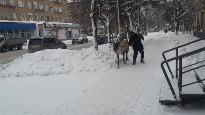 Жителей Назарово удивил мужчина, выгуливающий на привязи северного оленя