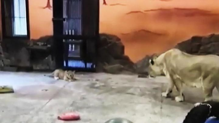 Уровень милоты зашкаливает: в зоопарке Екатеринбурга показали, как львица играет со своим львенком