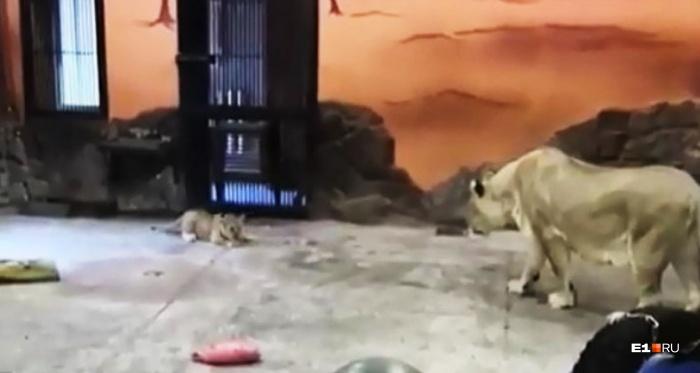 В Екатеринбургском зоопарке живет двухмесячная львица.В скором времени ее заберут в другой зоопарк