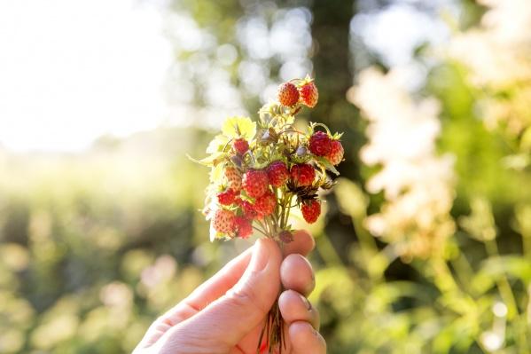 Ягодные плантации обустроят в Ростовском районе