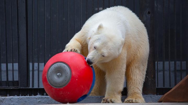 В зоопарке окончательно определились с именем для норильской медведицы