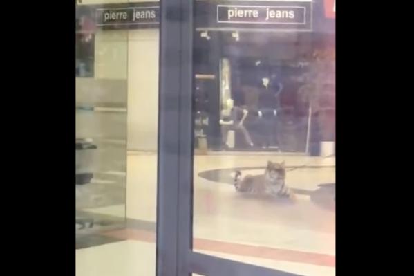 Тигр прогуливался по торговому центру ещё до его открытия