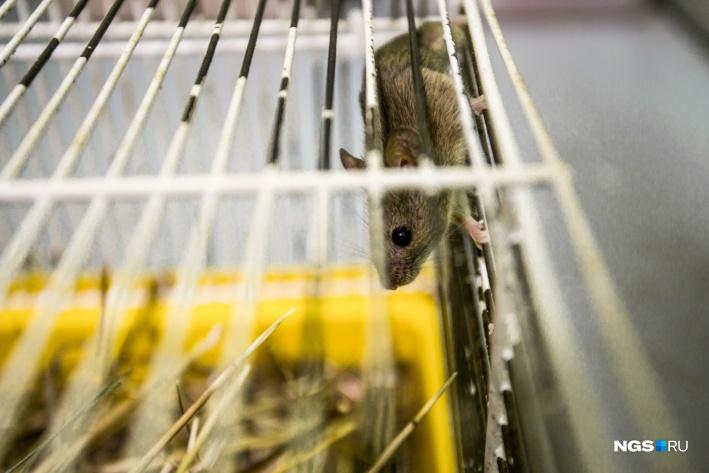 Домовую мышь видели многие