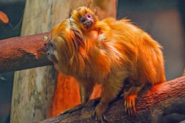 В Новосибирском зоопарке в семьях приматов появилось новое потомство — детеныши родились в сентябре