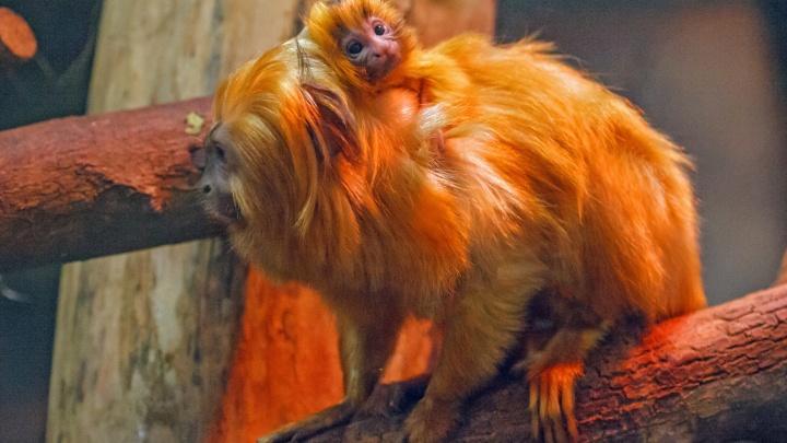 Смотрите, какие крохотные: в новосибирском зоопарке родились милые обезьянки
