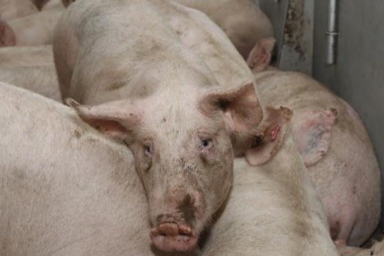 У жителей региона заберут домашний скот из-за вспышки африканской чумы