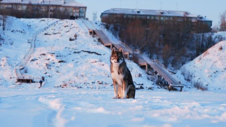 То ли собака, то ли волк: житель Котласа заснял на видео бегущее перед машиной дикое животное