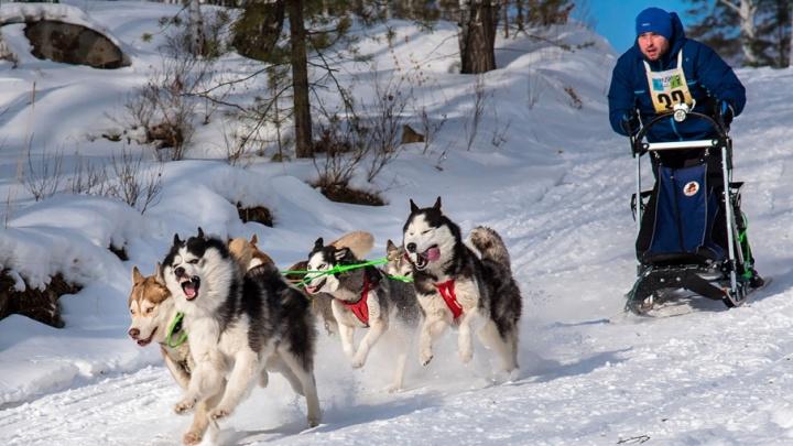 Красиво бегут: на Южном Урале прошли соревнования для ездовых собак