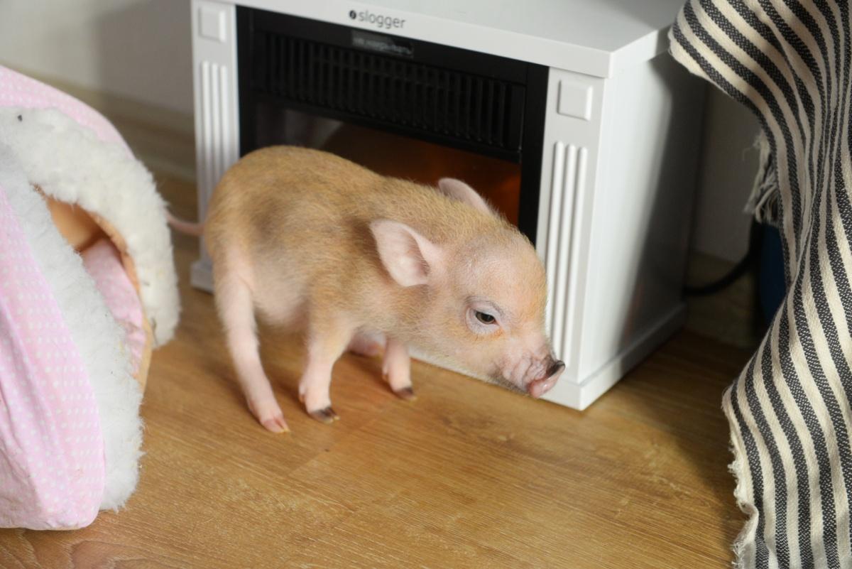 Свинка похожа на игрушку — такая она маленькая