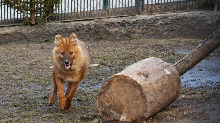 В зоопарке показали, как изменилась за год молодая волчица, от которой отказались родители