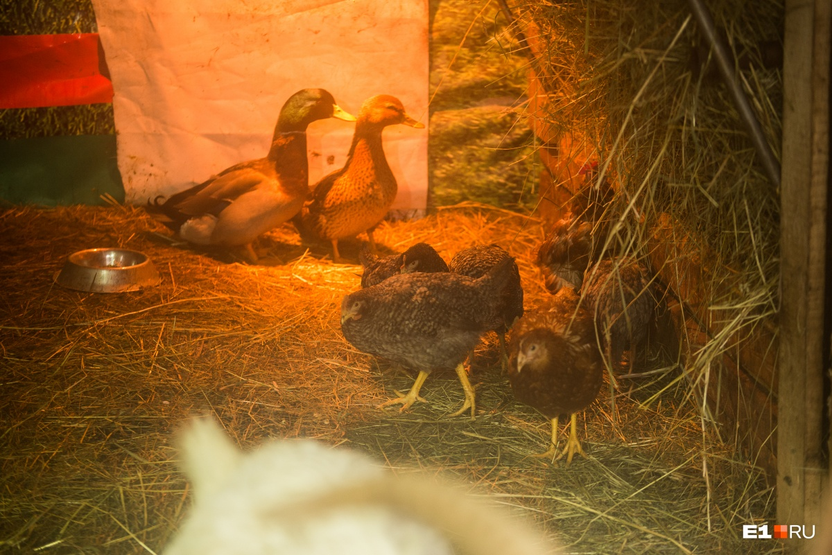 В сарае ещё гуси, утки и куры