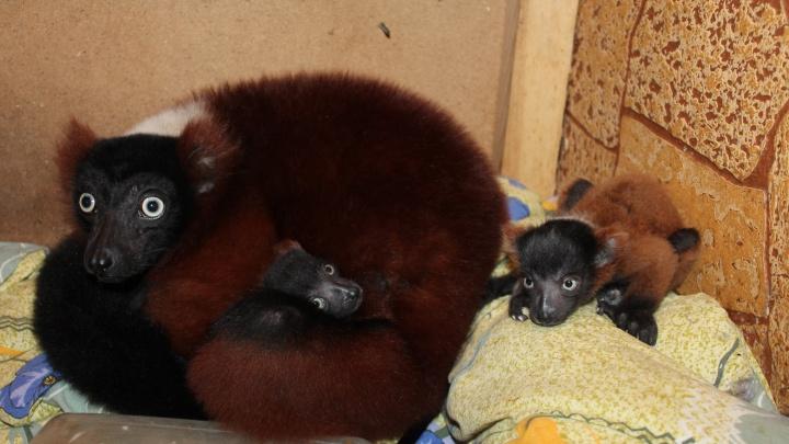 Малышей редкого лемура владелец частного зоопарка в Красноярске стал продавать за миллион