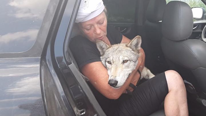 Передавила 12 гусей: под Челябинском поймали волчицу