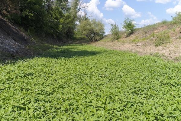 Под этой зеленой травой «похоронены» сотни мелких рыбешек