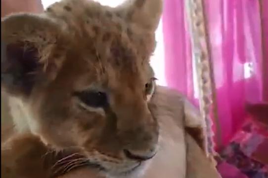 В ярославский зоопарк передали львицу Симу, которую использовали для незаконных фотосессий