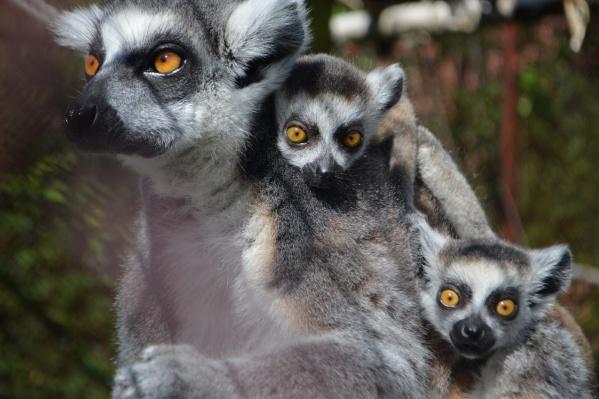 Пермские кошачьи лемуры — большие любители повеселиться на качелях