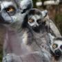 Прыгают с разбега и раскачиваются: смотрим, как лемуры из зоопарка Перми веселятся на новых качелях
