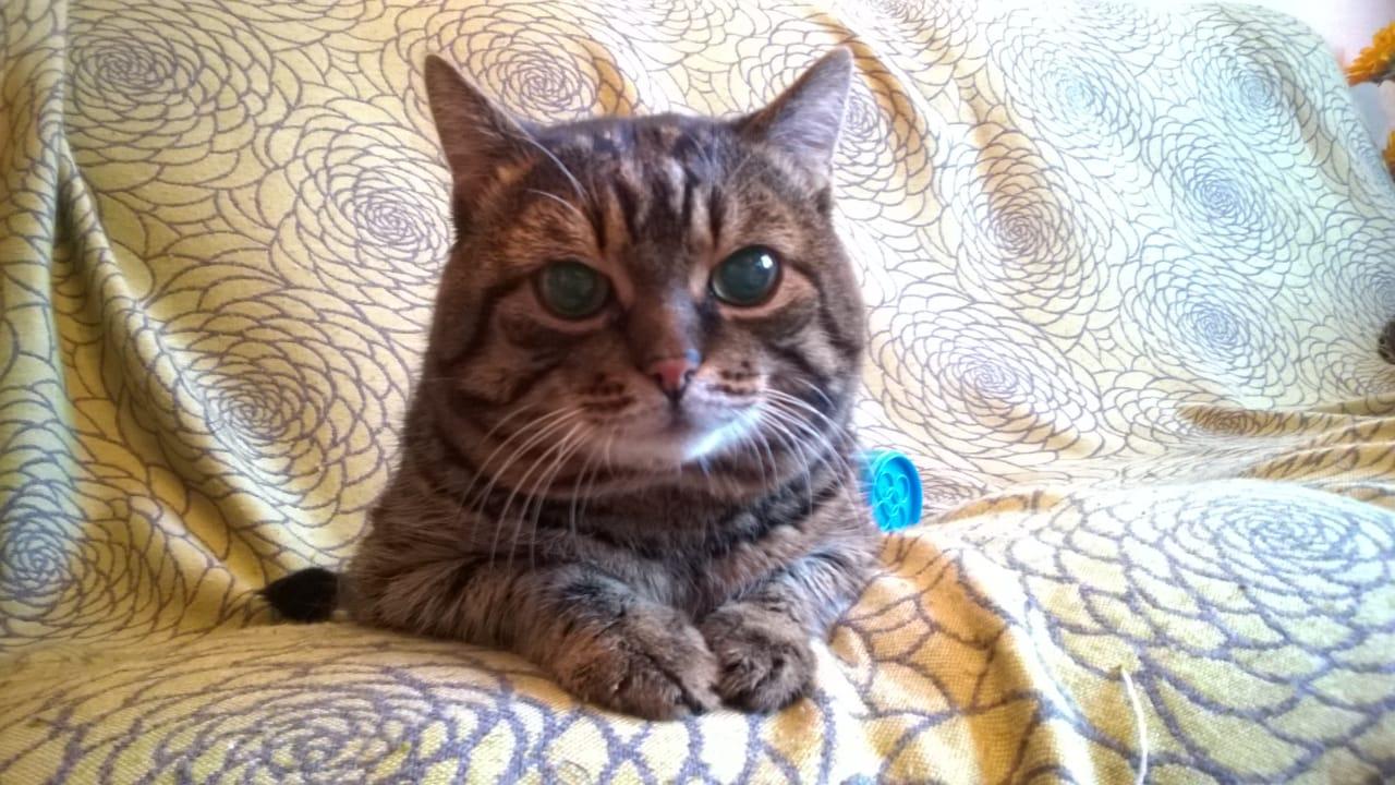 Владельцы считают, что Муся— самый добрый кот, которого кто-нибудь когда-нибудь встречал
