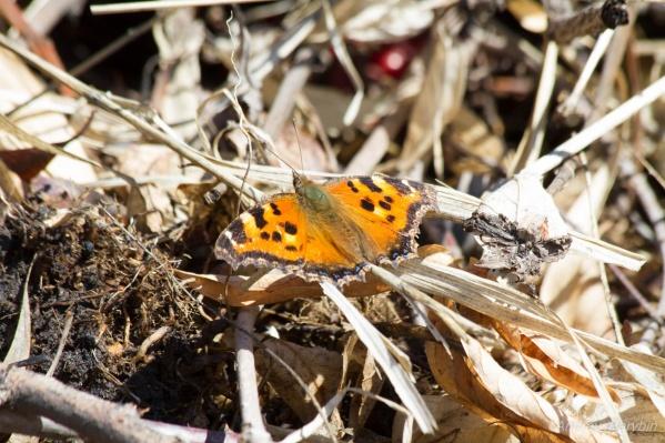 Несмотря на ночные заморозки, бабочки уже начали летать