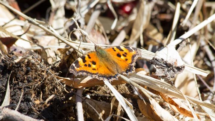 В Омске проснулись бабочки-крапивницы