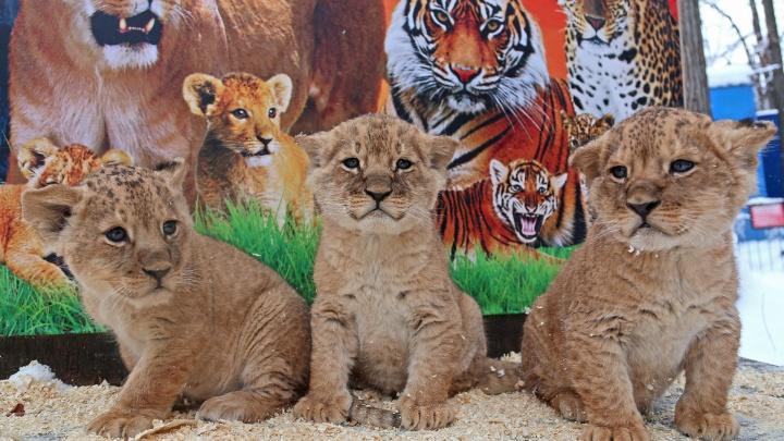 Атос, Портос и Арамис: в уфимском зоопарке родились три львенка