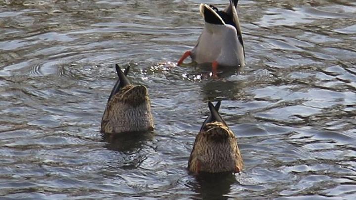 Утки-синхронистки на Городском пруду стали лучшим фото апреля