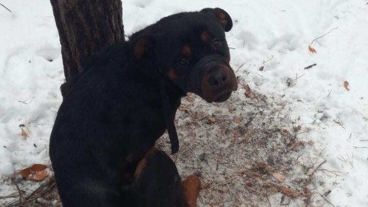 «Бросили на медленную смерть»: челябинцы спасли ротвейлера, привязанного к дереву в мороз