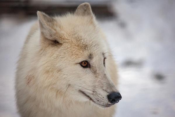 Двух волчиц и волка уже могут увидеть посетители