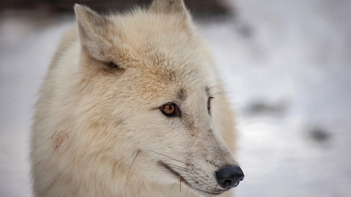 Три полярных волка переселились из Чехии в Новосибирский зоопарк