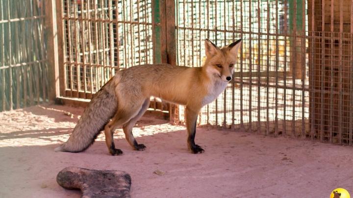 Барнаульский зоопарк похвастался снимками красивой рыжей лисы из Омска