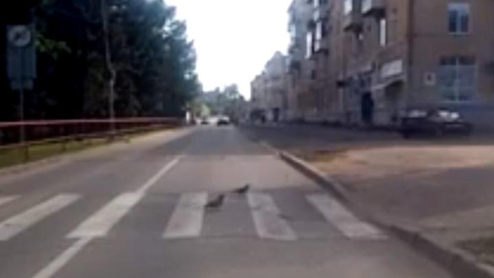 Культурные голуби: в Рыбинске птицы переходят дорогу по пешеходному переходу