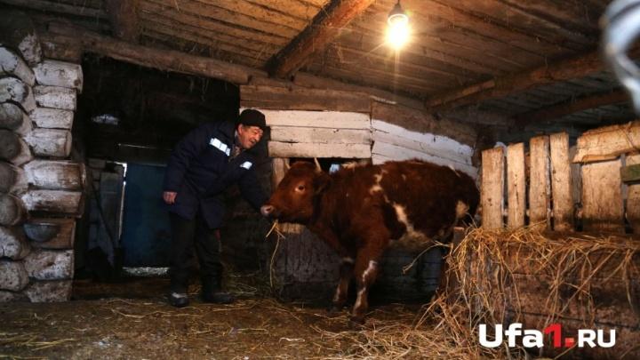 Жить или не жить: чем грозят пастбища в Башкирии, где гуляли больные ящуром коровы