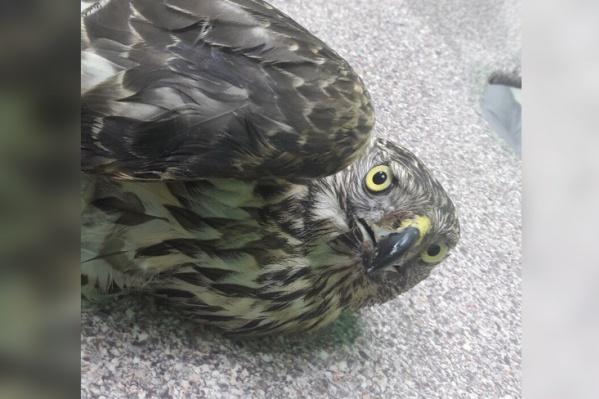 Ветеринары обнаружили у птицы травму головы и ранение дробью