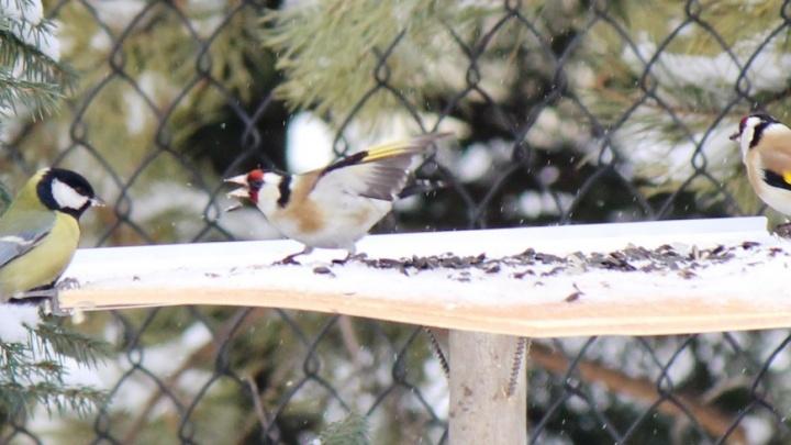 Щеглы обнаглели: цветные птицы не дают синицам есть (фото)