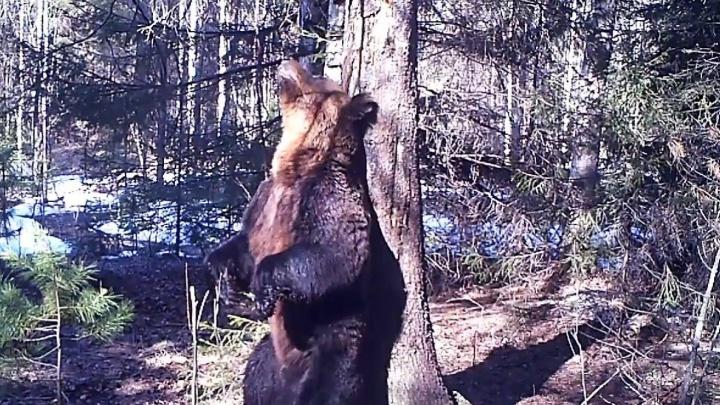 Ролик с танцующим в Висимском заповеднике медведем Ферапонтом попал на всероссийский конкурс