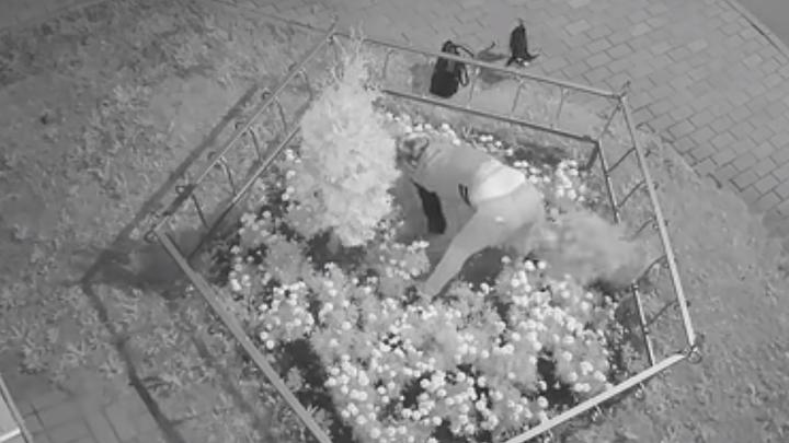 Рыла землю голыми руками: в Ярославле ищут ночную похитительницу деревьев с клумб