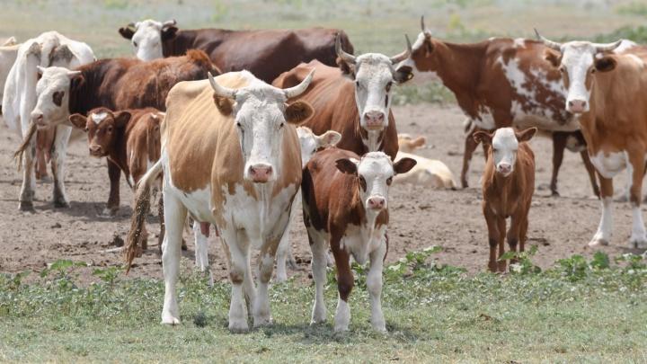 Волгоградец, расправившийся с шестью стельными коровами, отделался судебным штрафом