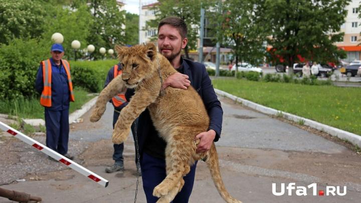 Глава Курултая возмутился выгулом в центре Уфы львёнка