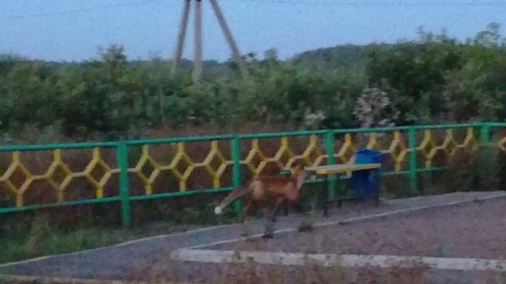Жителей Уфы напугали лисы на детской площадке