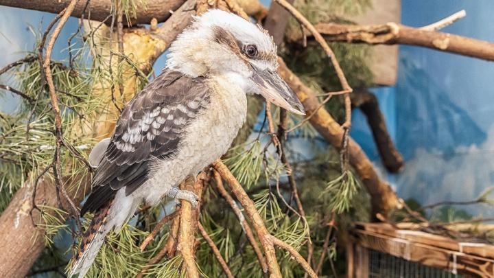 «Когда впервые услышали, опешили»: вНовосибирском зоопарке поселились птицы, которые хохочут и едят мясо