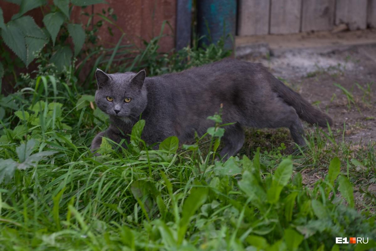 Кошкам, которые гуляют сами по себе, обязательно нужно надевать специальный ошейник или капать капли на холку