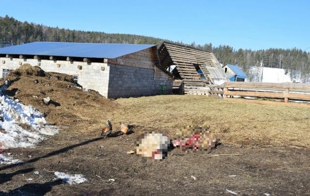 В Башкирии на отару овец напала стая волков