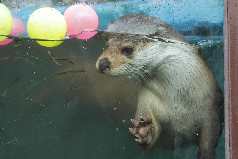 Две выдры изЧехии поселились вЕкатеринбургском зоопарке