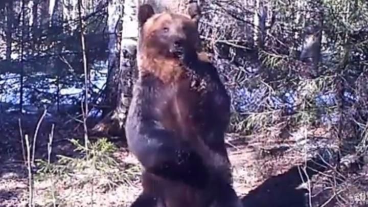 Показывал, что он тут главный: в зоопарке объяснили зажигательный танец медведя из Висимского заповедника