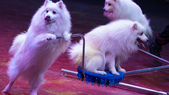 Собаки похожи на сахарную вату: в челябинском цирке показали работу, скрытую от глаз зрителей